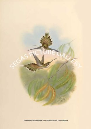 Phaethornis Anthophilus - Pale-Bellied Hermit Hummingbird